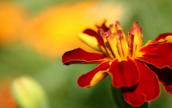 marigold pics