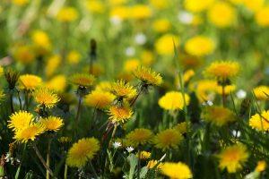 marigold picture