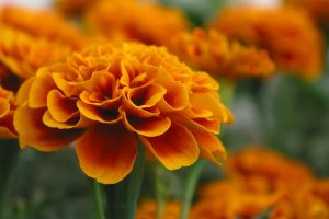 marigold pictures