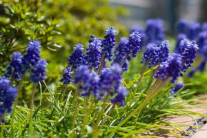 muscari backgrounds