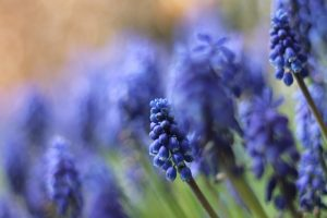 muscari desktop wallpaper