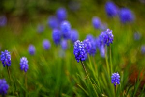 muscari flower blue