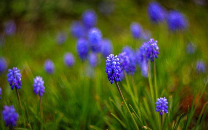 muscari flower blue