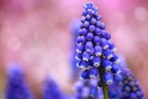muscari flowers hd