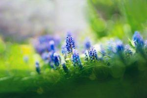 muscari flowers nice