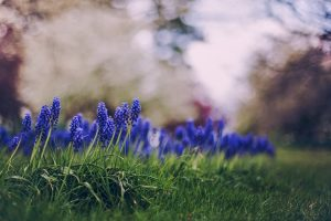 muscari flowers spring