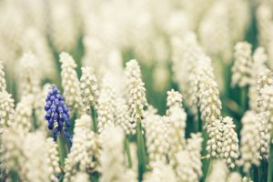 muscari images