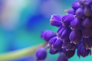 muscari wallpapers