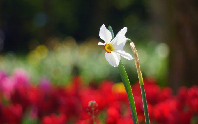 narcissus spring season