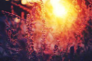nature flowers sunset