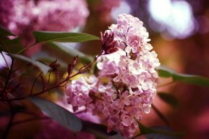 nature flowers syringa lilac