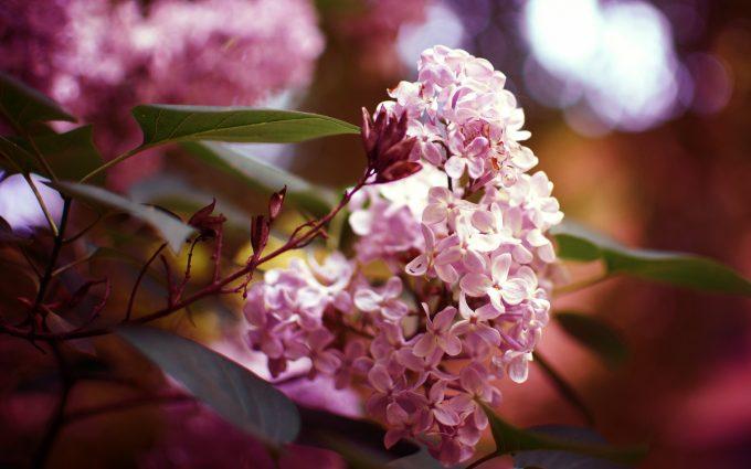 nature flowers syringa lilac