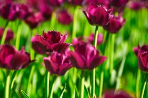 nature flowers tulips
