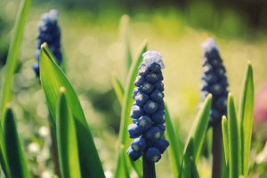 nature muscari flowers macro