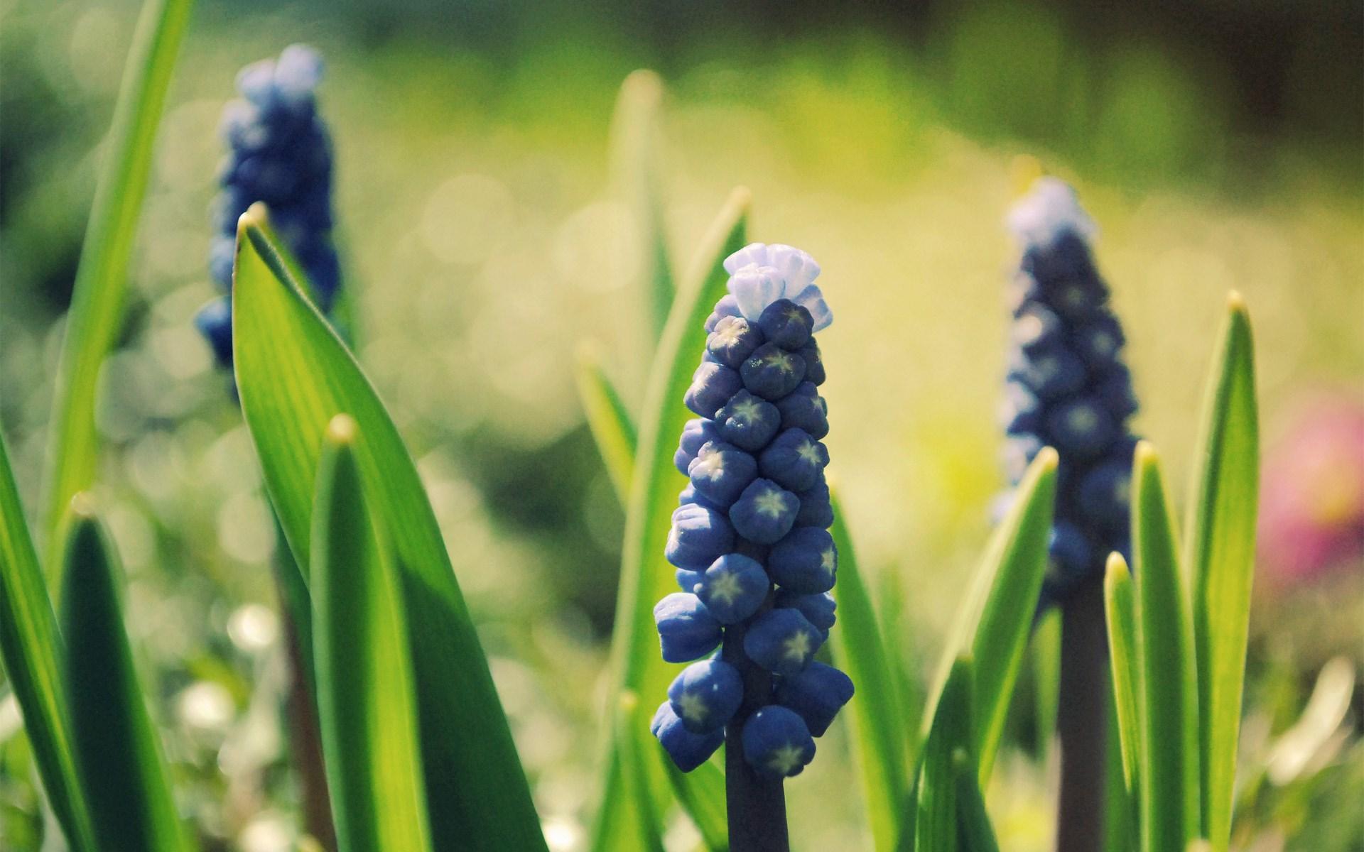nature muscari flowers macro