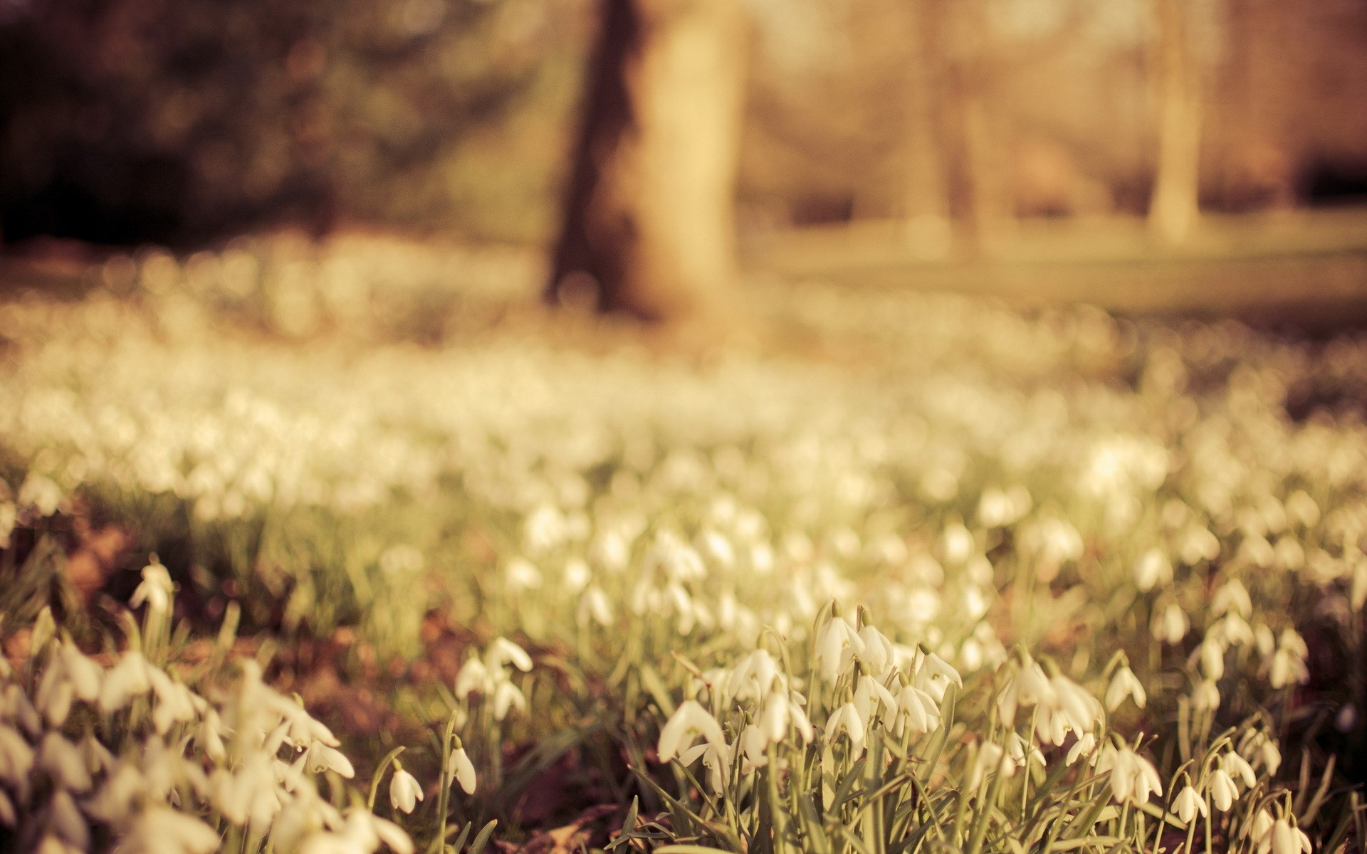 nature snowdrops spring