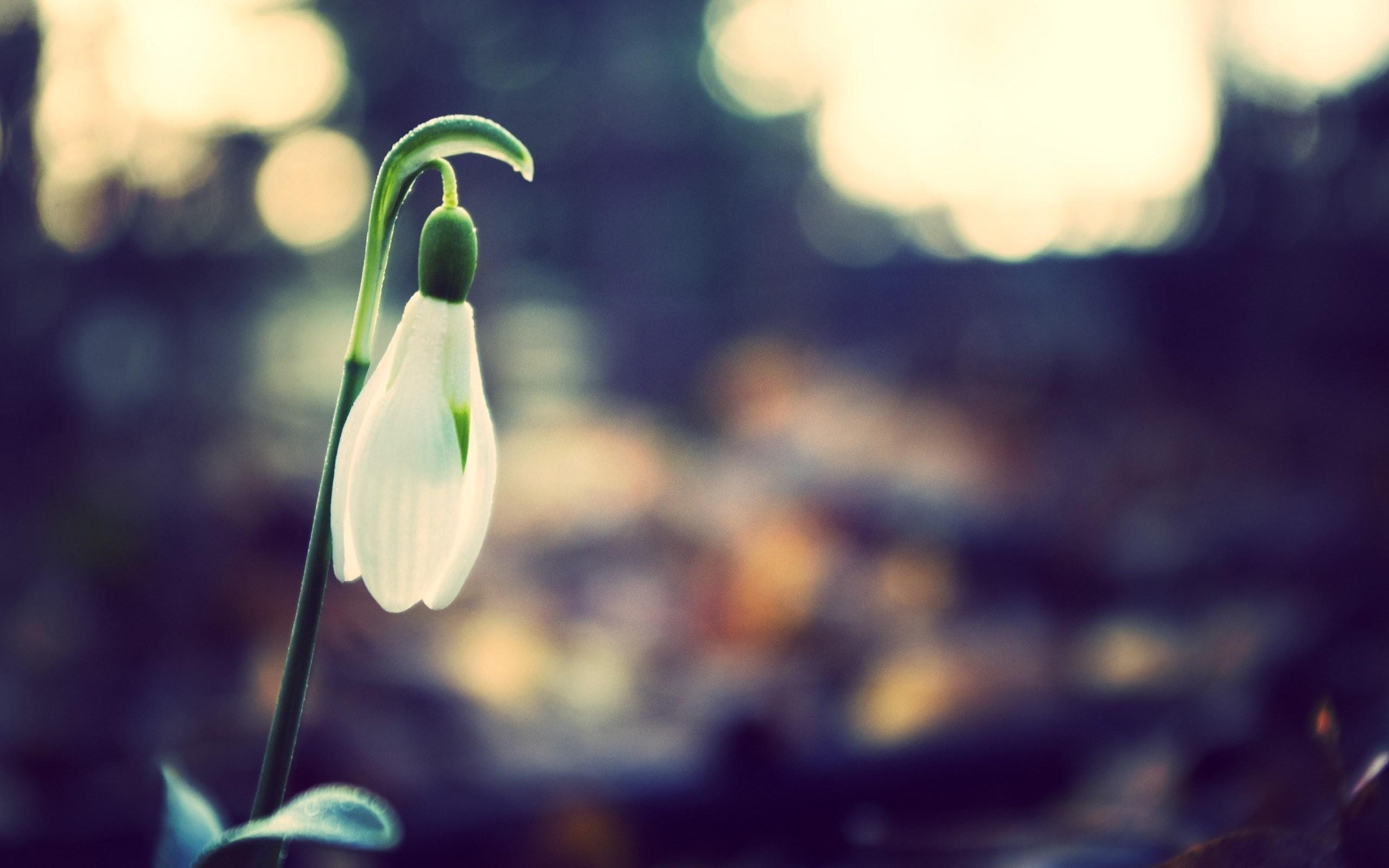 nature spring flower snowdrop photo