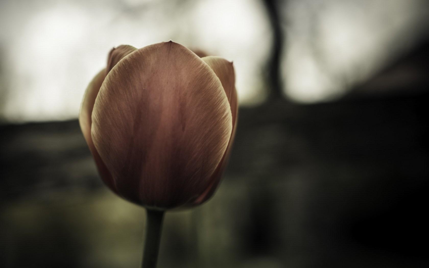 nature tulip
