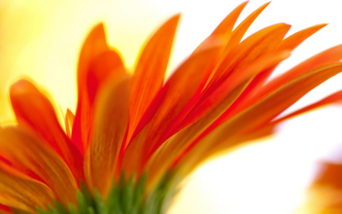 orange flower backgrounds
