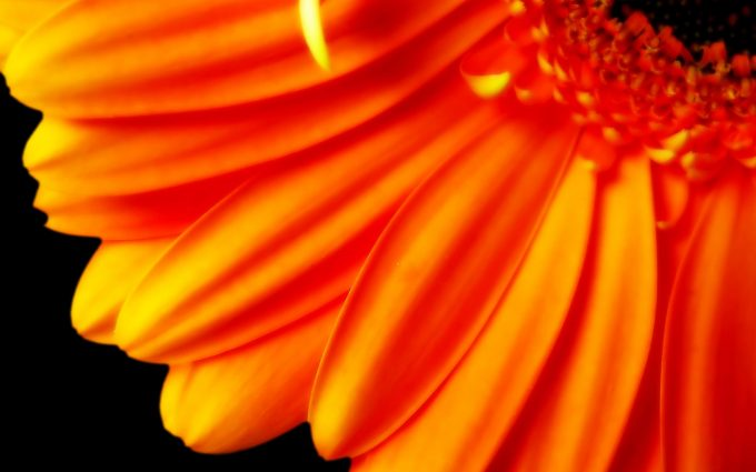 orange flower hd images