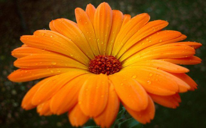orange flower images