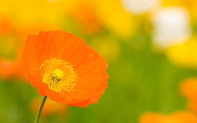 orange flower picture