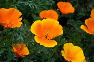 orange flowers A25