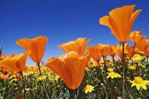 orange flowers download