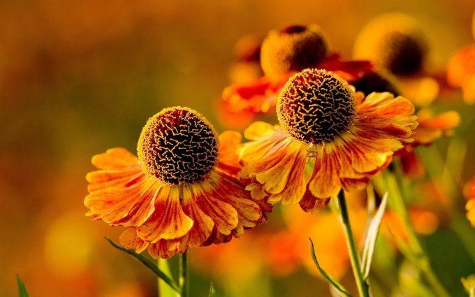 orange flowers hd