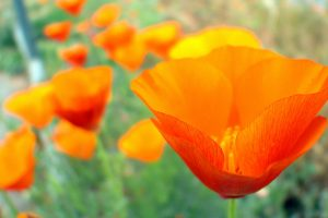 orange poppy wallpaper
