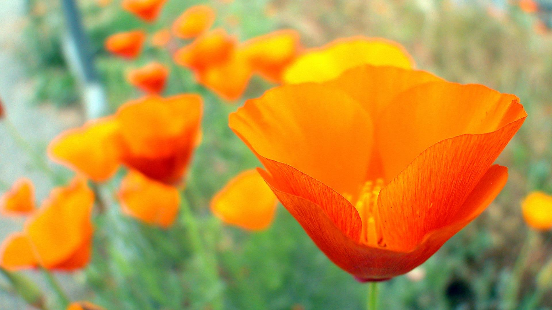 orange poppy wallpaper