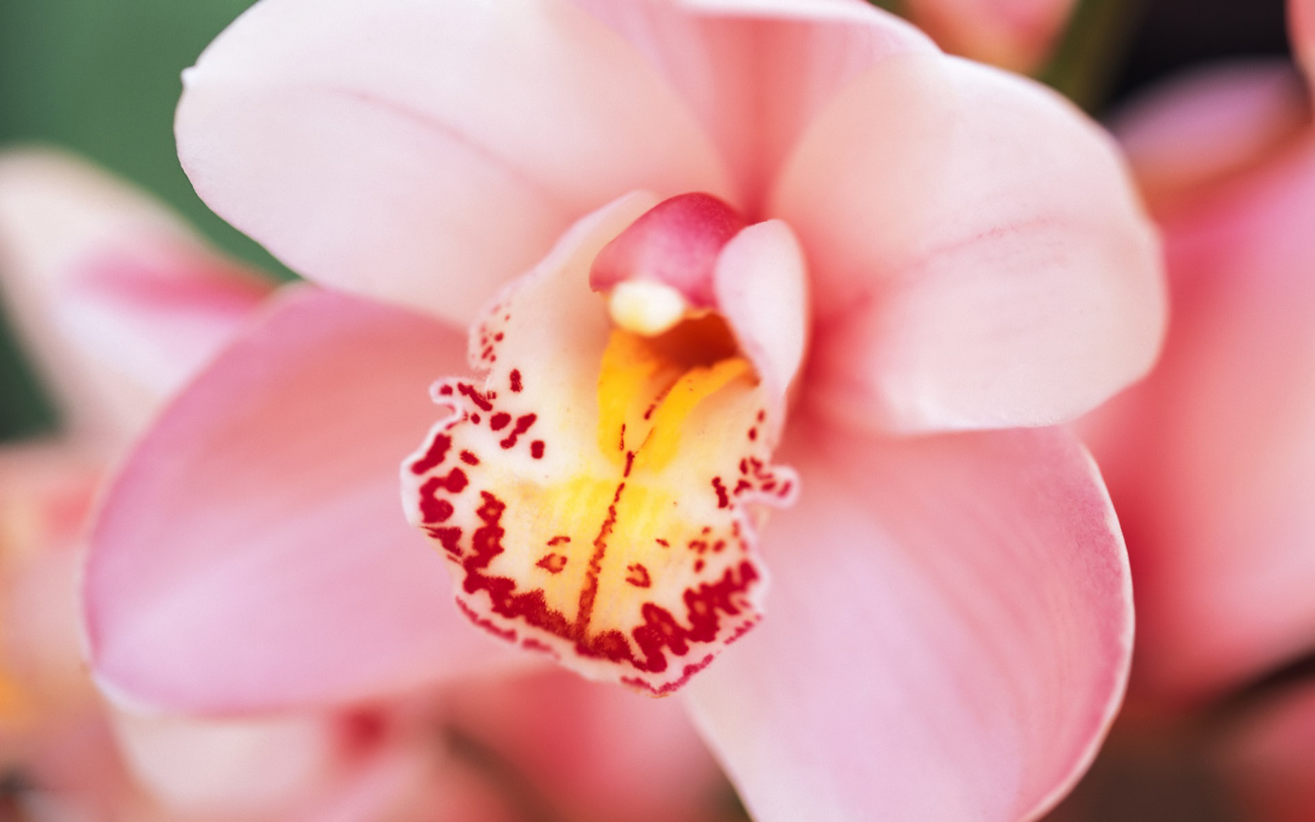 orchid flower hd wallpapers