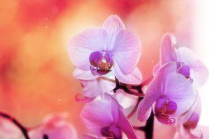 orchid flower wallpaper hd