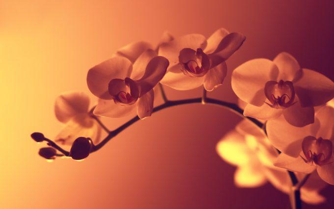 orchid wallpaper hd