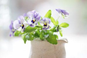 pansies beautiful flower
