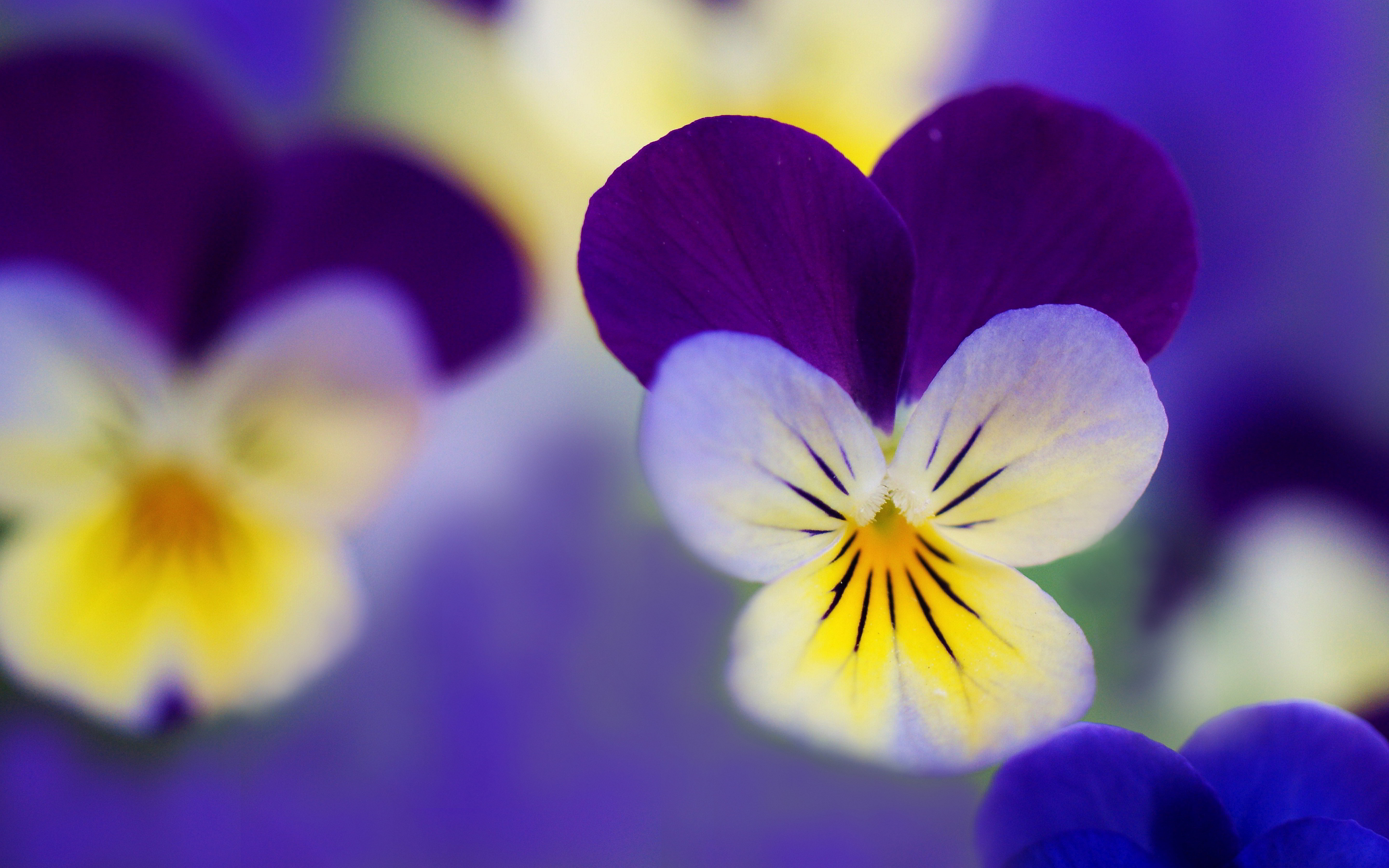 pansies desktop background