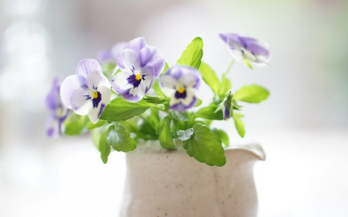 pansies images hd