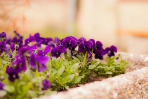 pansies picture