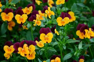 pansies picture backgrounds