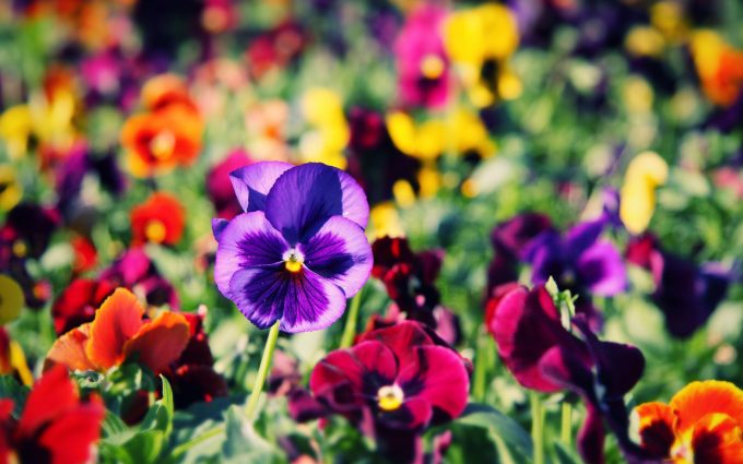 pansies picture download
