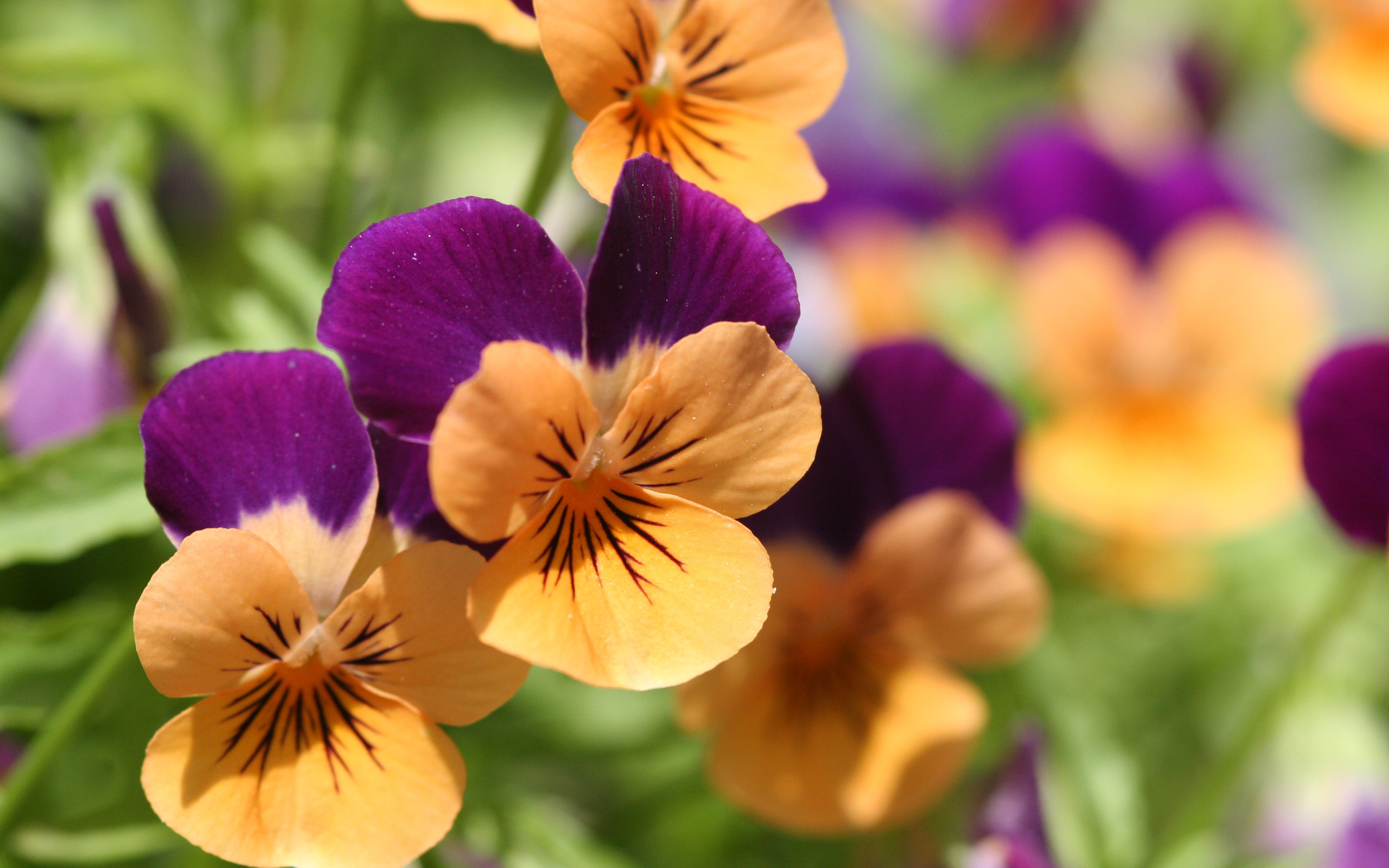 pansies picture free