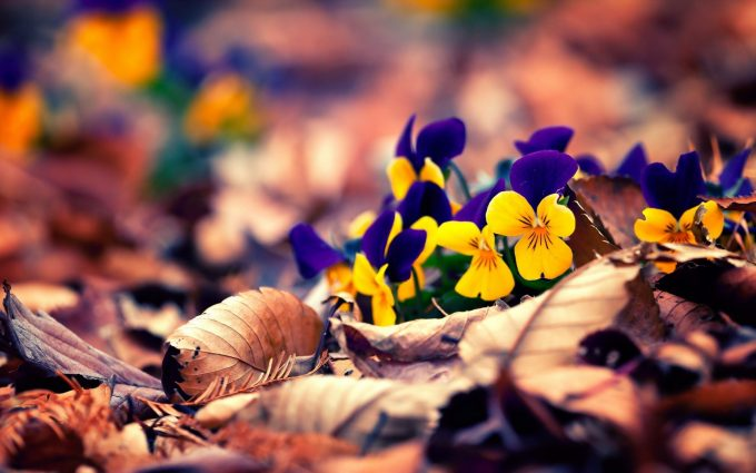 pansies wallpaper hd