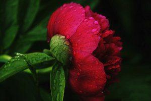 peonies flower images