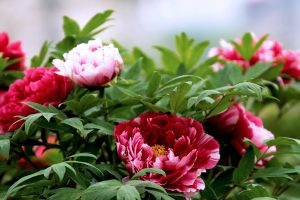 peony flower images