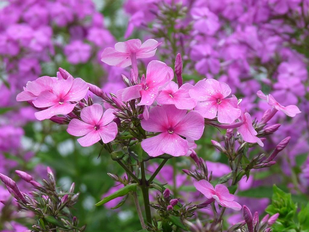 perennial flowers A1