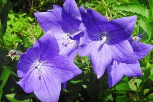 perennial flowers A5