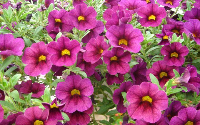 perennial flowers wallpaper A2