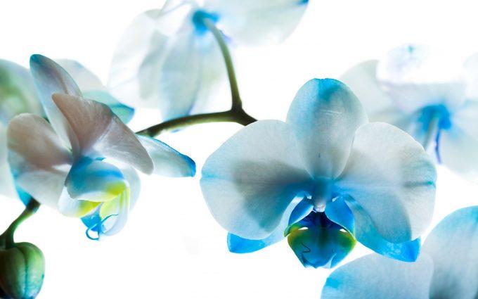 phalaenopsis background