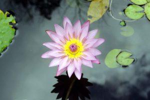 photo of lotus flower