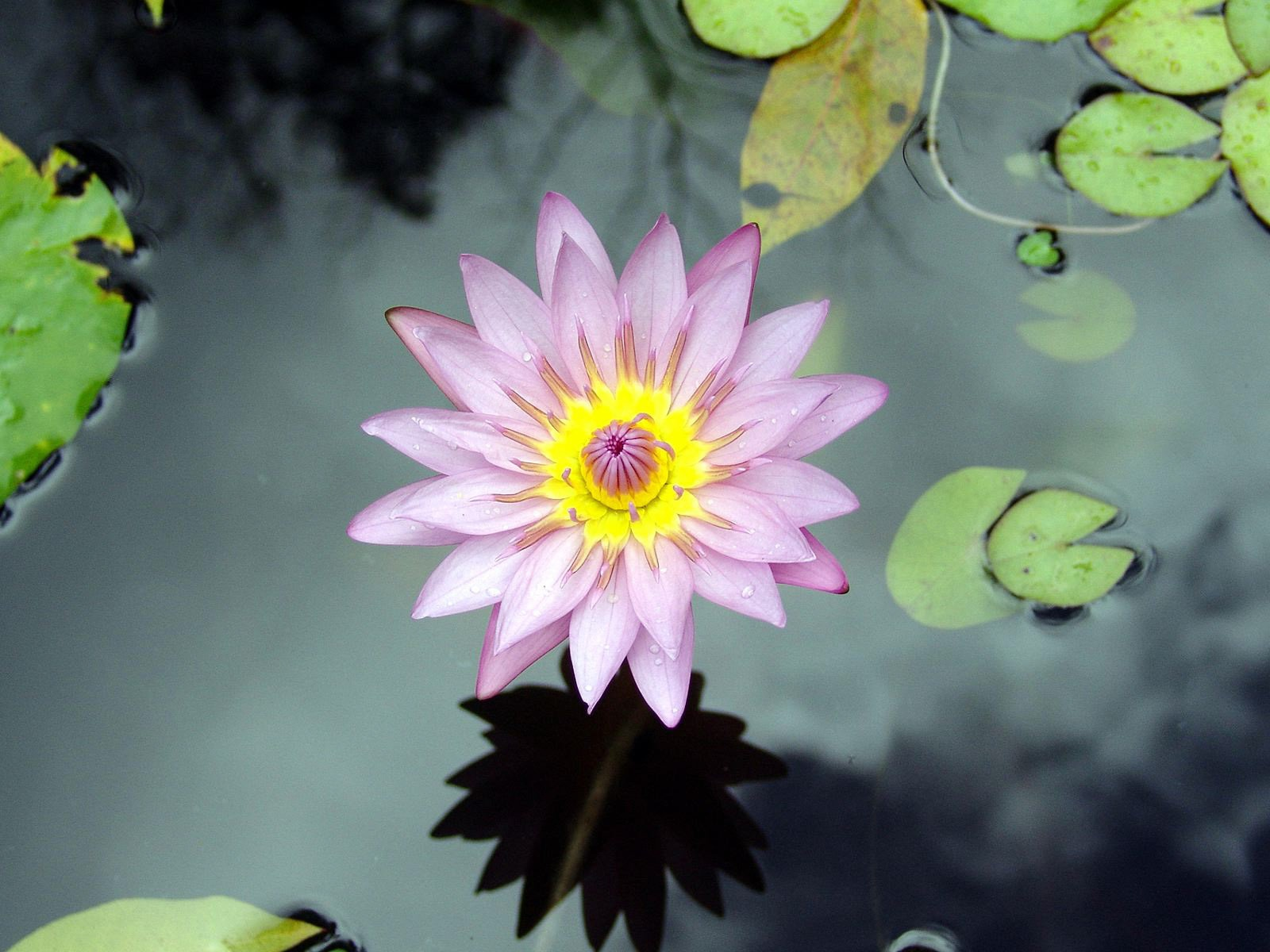 photo of lotus flower